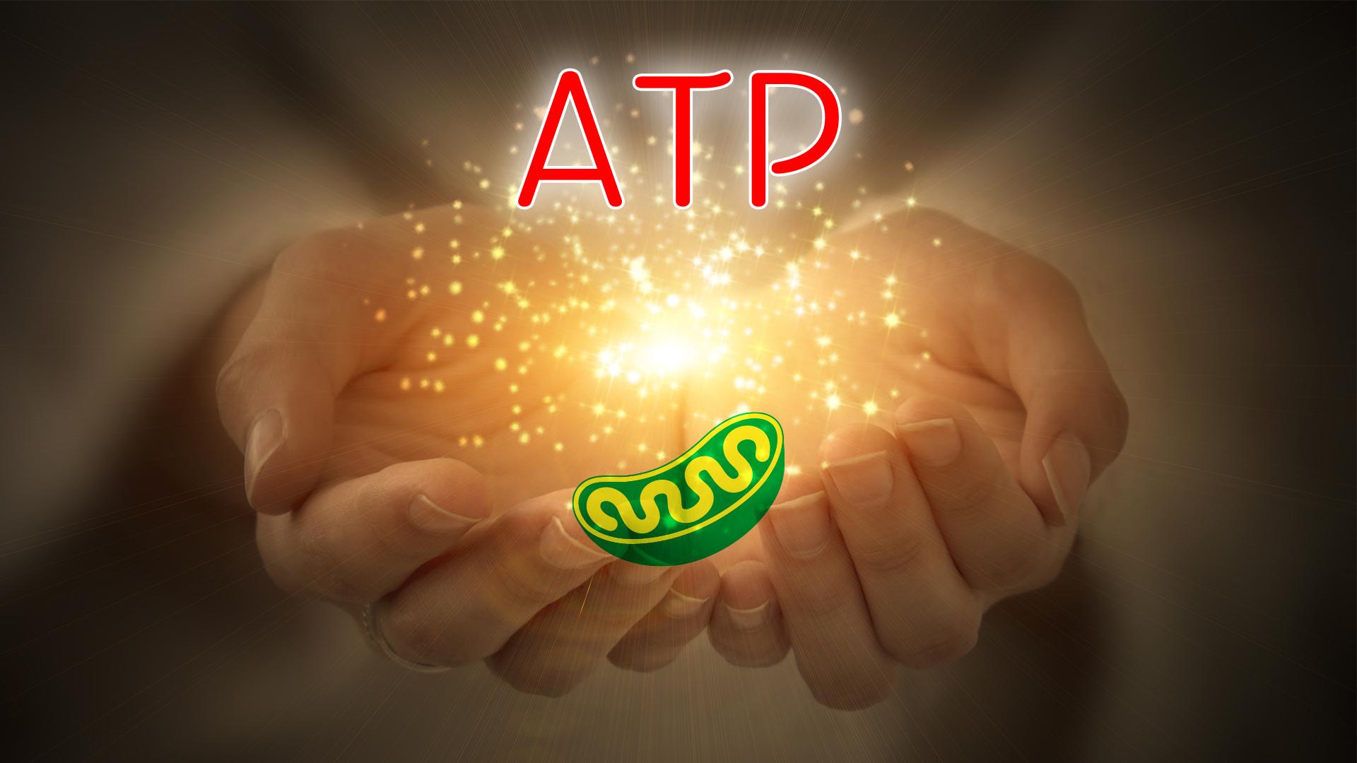 エネルギーを作るATP(アデノシン三リン酸)|エネルギー源は糖質or脂質??